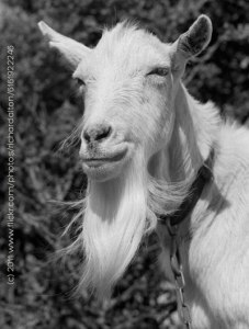 wise-old-goat