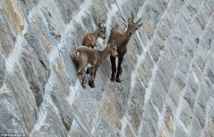 http://www.dailymail.co.uk/news/article-2460992/Goats-defy-death-scale-dam-Italian-lake-Gran-Paradiso-National-Park.html