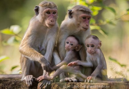 Toque macaques living in Polonnaruwa, Sri Lanka - from BBC One - Planet Earth Live