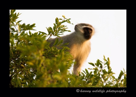 Vervet Monkey by Harvey Wildlife Photography