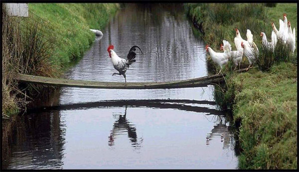 Rooster leading chickens - source: unkonwn